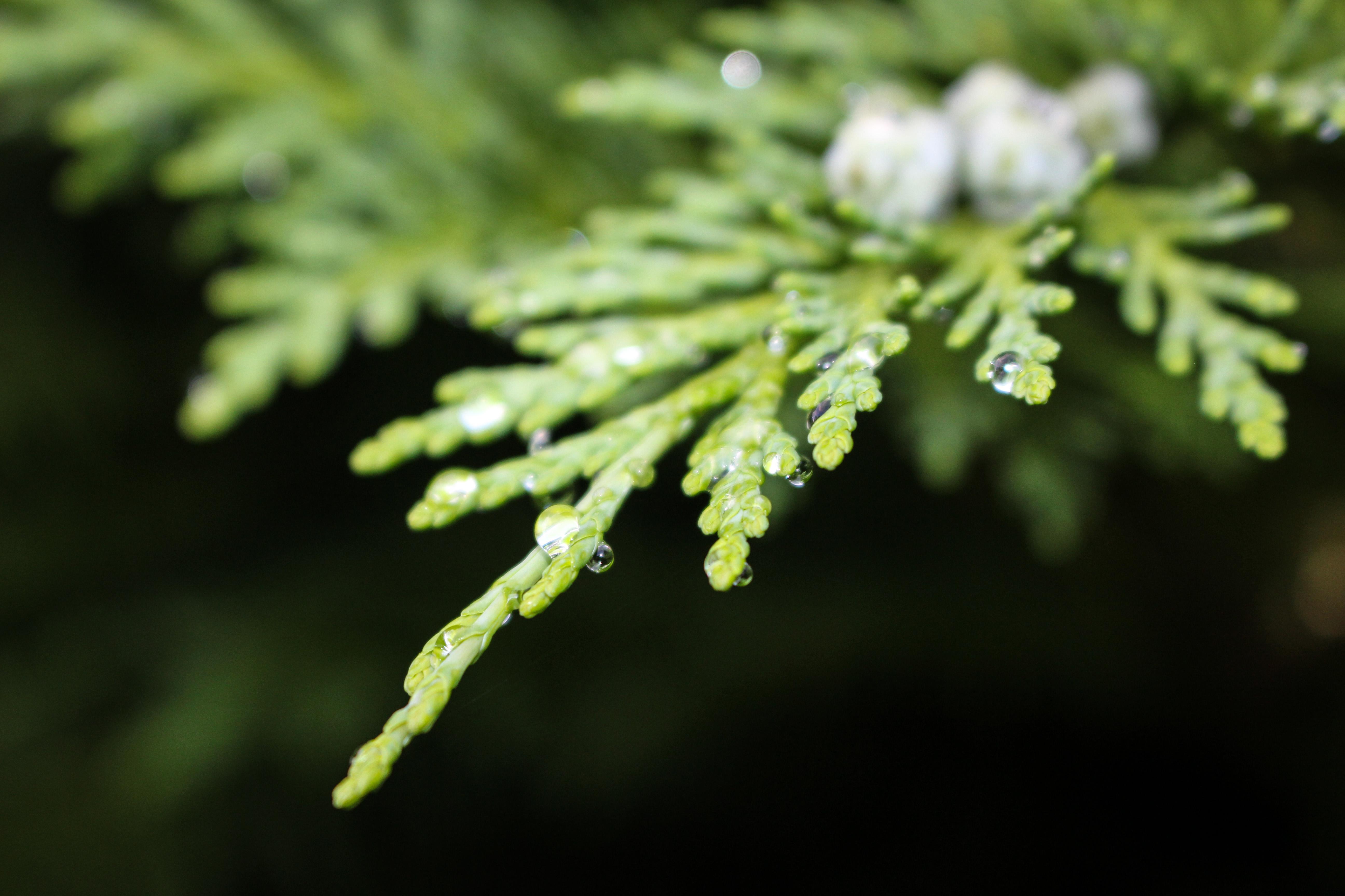Leaf Drips